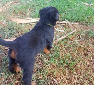 Rottweiler Puppies 10