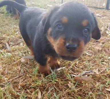 Rottweiler Puppies 12
