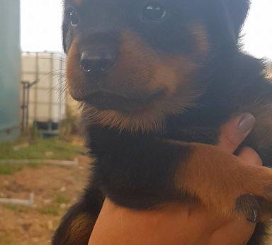 Rottweiler Puppies 14