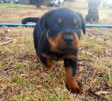 Rottweiler Puppies 15