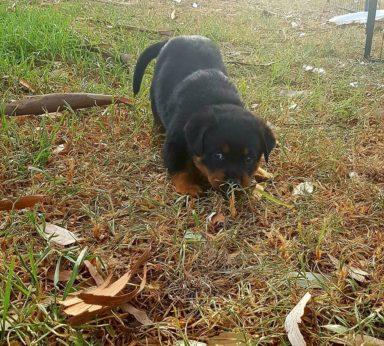 Rottweiler Puppies 16