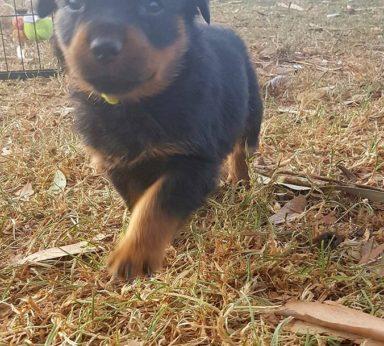 Rottweiler Puppies 17