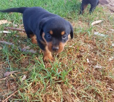 Rottweiler Puppies 18