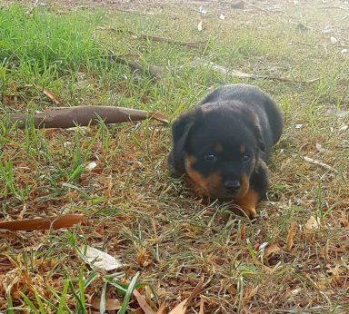 Rottweiler Puppies 2