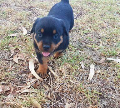 Rottweiler Puppies 4