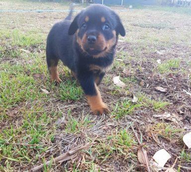 Rottweiler Puppies 5