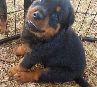 Rottweiler Puppies 6
