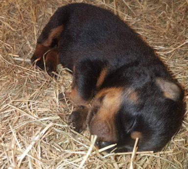 Rottweiler_puppies4